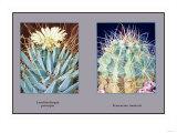 Leuchtenbergia Principis Posters