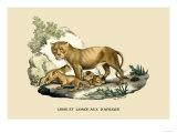 Lion et Lionne d'Afrique Prints by E.f. Noel