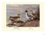 Pintail Ducks Print by Allan Brooks