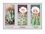 Echinocactus Ingens Print