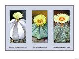 Astrophytum Myriostigma Prints
