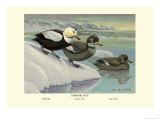 Labrador Duck Print by Louis Agassiz Fuertes