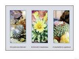 Pelecyphora Aselliformis Prints