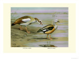 Egyptian and Orinoco Goose Prints by Louis Agassiz Fuertes
