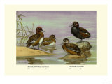 Australian White-Eyed and Southern Pochard Ducks Posters by Allan Brooks
