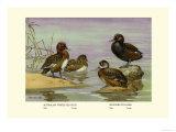 Australian White-Eyed and Southern Pochard Ducks Premium Giclee Print by Allan Brooks