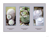 Neomammillaria Plumosa Posters
