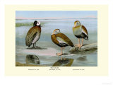 White-Faced, Black-Bellied and Gray-Breasted Tree Ducks Print by Louis Agassiz Fuertes