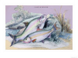Carp Bream and Roach Print by Robert Hamilton