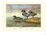 Falcated Teal Ducks Prints by Allan Brooks