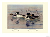 Golden-Eye and Barrow's Golden-Eye Ducks Prints by Allan Brooks