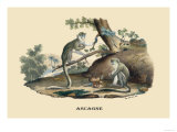Singes Monkeys Prints by E.f. Noel
