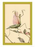 The Praying Mantis Prints by Edward Detmold