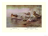 European and American Teal Duck Art by Allan Brooks