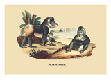 Mandril Prints by E.f. Noel