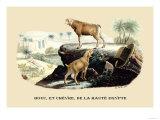Bouc et Chevre de la Haute Egypte Prints by E.f. Noel