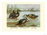 Three Types of Shoveller Ducks Prints by Allan Brooks