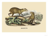 Agouti Posters by E.f. Noel