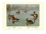 Masked and Madagascan Ducks Prints by Allan Brooks