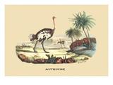 Autruche (Ostrich) Print by E.f. Noel