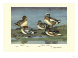 Widgeon Ducks Posters by Allan Brooks