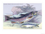 Salmon Feroxvar and Salmon Trout Posters by Robert Hamilton