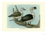 Knob-Billed Ducks Posters by Louis Agassiz Fuertes