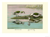 Green and Indian Pygmy Goose Poster by Louis Agassiz Fuertes