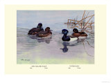 New Zealand Scaup and Tufted Ducks Posters by Allan Brooks