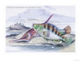 Tagos Goldsinny and Trumpet Fish Posters by Robert Hamilton