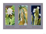 Epiphyllum Crenatum Prints