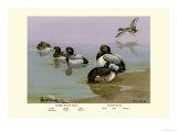 Scaup Duck Print by Allan Brooks