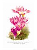 Colchicum Giganteum: C. Sibthorpii C. Bivonoe Superbum Art by H.g. Moon
