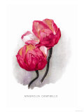 Magnolia Campbellii Posters by H.g. Moon