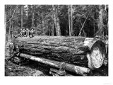 Fallen Old Growth Premium Giclee Print by Clark Kinsey