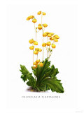 Calceolaria Plantaginea Posters by H.g. Moon
