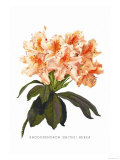 Rhododendron Smithii Aurea Poster by H.g. Moon
