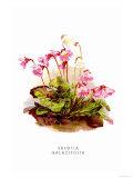 Shortia Galacifolia Prints by H.g. Moon