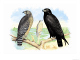 Red Shouldered Hawk Prints by Theodore Jasper