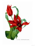 Tulipa Tubergeniana Posters by H.g. Moon
