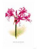 Nerine Bowdeni Prints by H.g. Moon