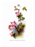Clematis Montana Rubens Posters by H.g. Moon