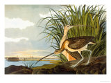 Long-Billed Curlew Art by John James Audubon