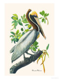 Brown Pelican Pster por John James Audubon