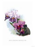 Laelia Prestans Oakwood Var Prints by H.g. Moon