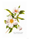 The Cherokee Rose, Giclee Print