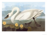 Whistling Swan Posters by John James Audubon