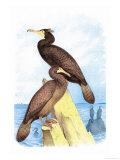 Townsend's Cormorant Posters par Theodore Jasper