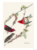 Purple Finch Posters by John James Audubon