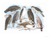 Coopers, Grubers, Harlan and Harris Buzzards, and Chicken Hawk Print by Theodore Jasper